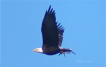 Mature Bald Eagle featured in The Eve of Battle